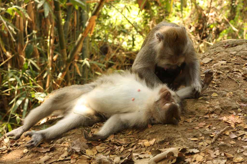 Monkey searching lying-down monkey for insects