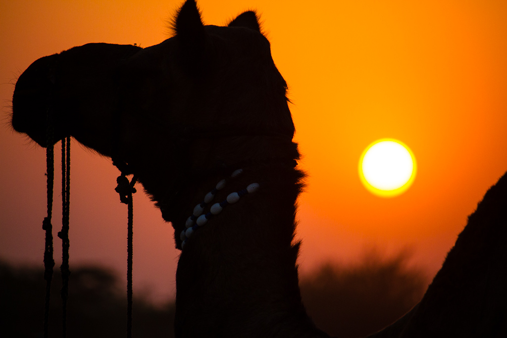 Camel at sunset